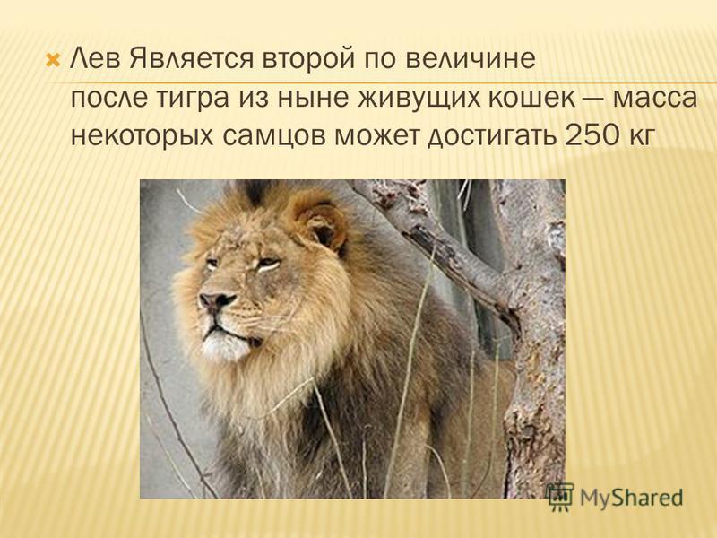 Лев Является второй по величине после тигра из ныне живущих кошек масса некоторых самцов может достигать 250 кг
