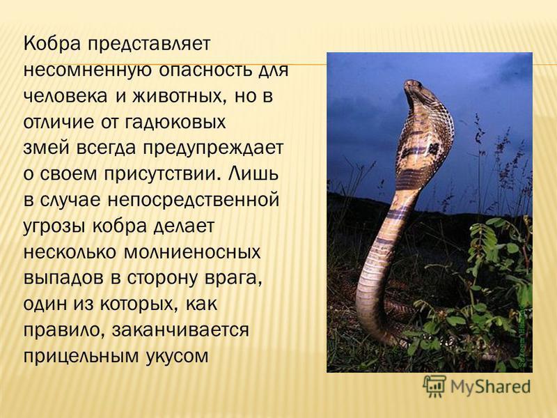 Кобра представляет несомненную опасность для человека и животных, но в отличие от гадюковых змей всегда предупреждает о своем присутствии. Лишь в случае непосредственной угрозы кобра делает несколько молниеносных выпадов в сторону врага, один из кото
