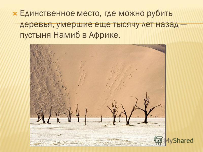 Единственное место, где можно рубить деревья, умершие еще тысячу лет назад пустыня Намиб в Африке.