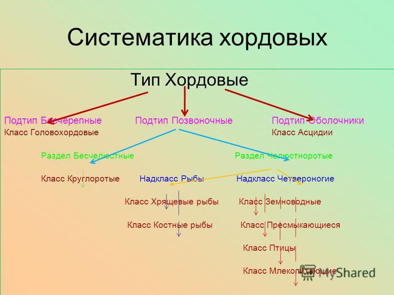 Систематика хордовых Тип