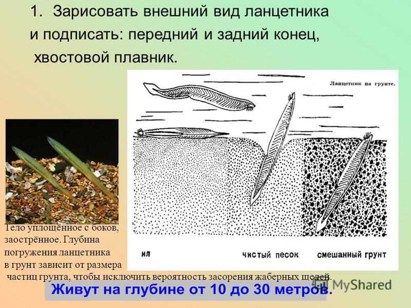 1. Зарисовать внешний вид ланцетника и подписать: передний и задний конец, хвостовой плавник. Тело уплощённое с боков, заострённое. Глубина погружения ланцетника в грунт зависит от размера частиц грунта, чтобы исключить вероятность засорения жаберных