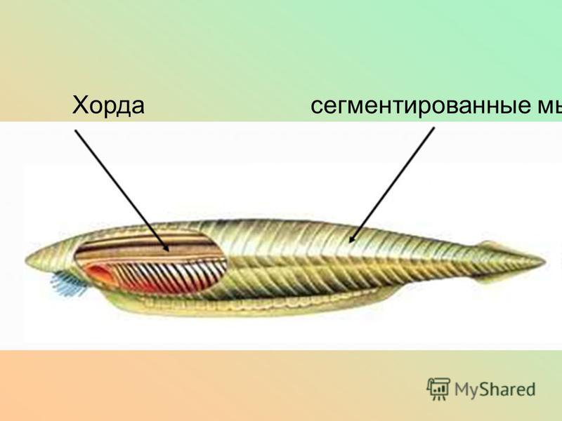 Хорда сегментированные мышцы