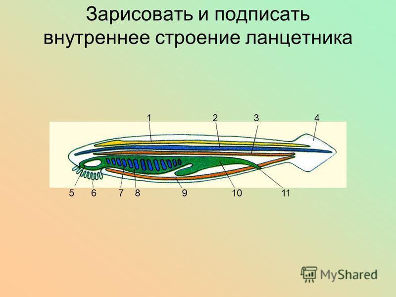 Зарисовать и подписать внутреннее строение ланцетника 1 2 3 4 5 6 7 8 9 10 11