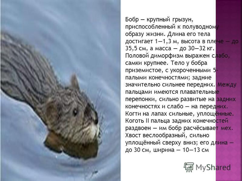 Бобр крупный грызун, приспособленный к полуводному образу жизни. Длина его тела достигает 11,3 м, высота в плече до 35,5 см, а масса до 3032 кг. Половой диморфизм выражен слабо, самки крупнее. Тело у бобра приземистое, с укороченными 5- палыми конечн