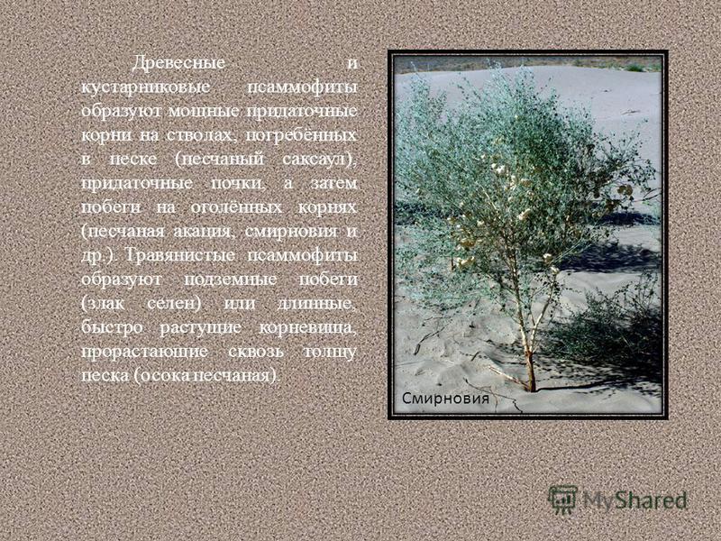 Древесные и кустарниковые псаммофиты образуют мощные придаточные корни на стволах, погребённых в песке (песчаный саксаул), придаточные почки, а затем побеги на оголённых корнях (песчаная акация, смирновия и др.). Травянистые псаммофиты образуют подзе