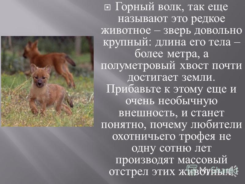 Красный волк – хищное животное, пока еще обитающее в горных местах Центральной и Южной Азии. Почему, пока еще ? Ему грозит полное исчезновение. Красная книга мира содержит данные о красном волке со статусом исчезающий вид животных.