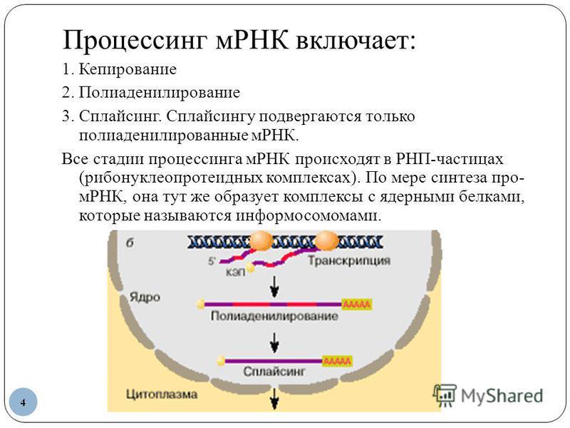 Процессинг мРНК включает: 1. Кепирование 2. Полиаденилирование 3. Сплайсинг. Сплайсингу подвергаются только полиаденилированные мРНК. Все стадии процессинга мРНК происходят в РНП-частицах (рибонуклеопротеидных комплексах). По мере синтеза про- мРНК,