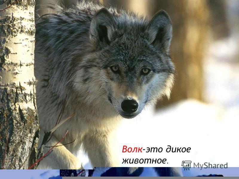 Дикие животные Дикие животные-это животные, которые сами строят себе жилище, сами добывают пищу.
