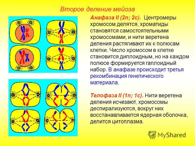 Второе деление мейоза Анафаза II (2n; 2 с). Центромеры хромосом делятся, хроматиды становятся самостоятельными хромосомами, и нити веретена деления растягивают их к полюсам клетки. Число хромосом в клетке становится диплоидным, но на каждом полюсе фо