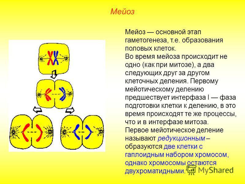 Мейоз Мейоз основной этап гаметогенеза, т.е. образования половых клеток. Во время мейоза происходит не одно (как при митозе), а два следующих друг за другом клеточных деления. Первому мейотическому делению предшествует интерфаза I фаза подготовки кле