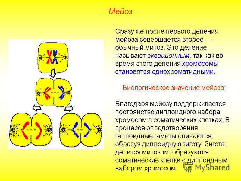 Мейоз Сразу же после первого деления мейоза совершается второе обычный митоз. Это деление называют эквационным, так как во время этого деления хромосомы становятся однохроматидными. Биологическое значение мейоза: Благодаря мейозу поддерживается посто