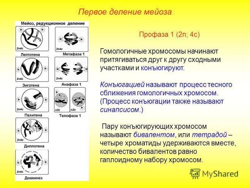 Первое деление мейоза Профаза 1 (2n; 4 с) Гомологичные хромосомы начинают притягиваться друг к другу сходными участками и конъюгируют. Конъюгацией называют процесс тесного сближения гомологичных хромосом. (Процесс конъюгации также называют синапсисом
