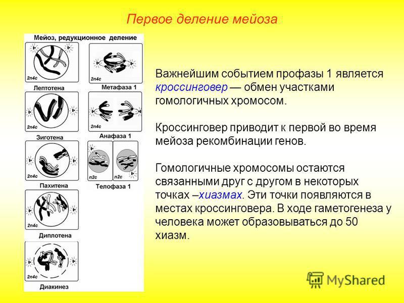 Первое деление мейоза Важнейшим событием профазы 1 является кроссинговер обмен участками гомологичных хромосом. Кроссинговер приводит к первой во время мейоза рекомбинации генов. Гомологичные хромосомы остаются связанными друг с другом в некоторых то