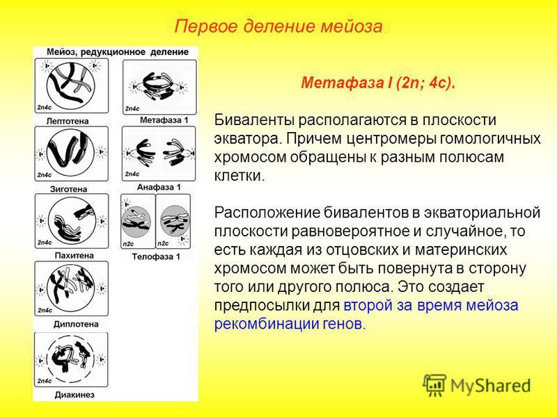 Первое деление мейоза Метафаза I (2n; 4 с). Биваленты располагаются в плоскости экватора. Причем центромеры гомологичных хромосом обращены к разным полюсам клетки. Расположение бивалентов в экваториальной плоскости равновероятное и случайное, то есть