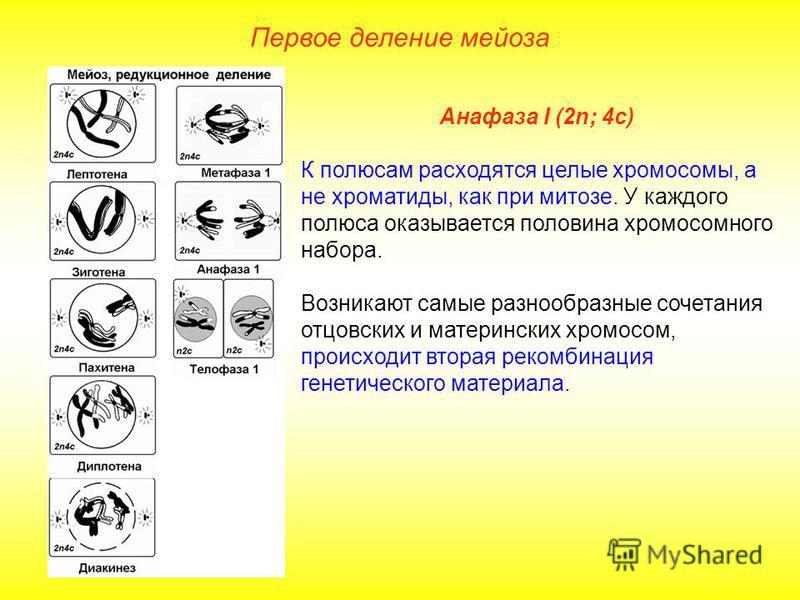 Первое деление мейоза Анафаза I (2n; 4 с) К полюсам расходятся целые хромосомы, а не хроматиды, как при митозе. У каждого полюса оказывается половина хромосомного набора. Возникают самые разнообразные сочетания отцовских и материнских хромосом, проис