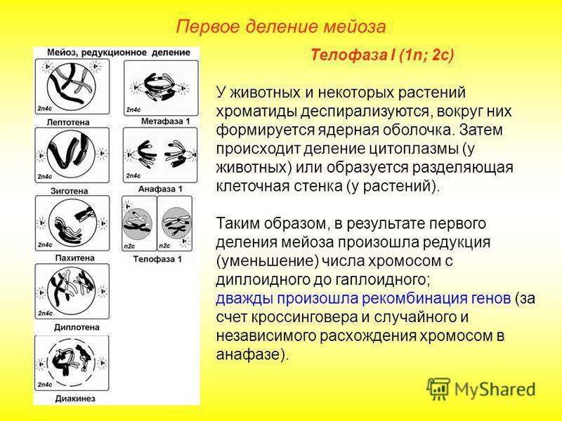 Первое деление мейоза Телофаза I (1n; 2 с) У животных и некоторых растений хроматиды деспирализуются, вокруг них формируется ядерная оболочка. Затем происходит деление цитоплазмы (у животных) или образуется разделяющая клеточная стенка (у растений).