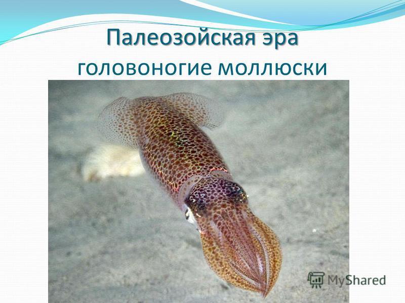 Палеозойская эра Палеозойская эра головоногие моллюски
