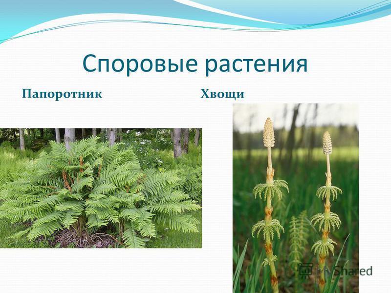 Споровые растения Папоротник Хвощи