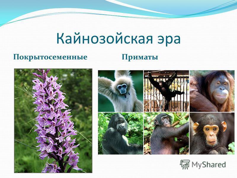 Кайнозойская эра Покрытосеменные Приматы