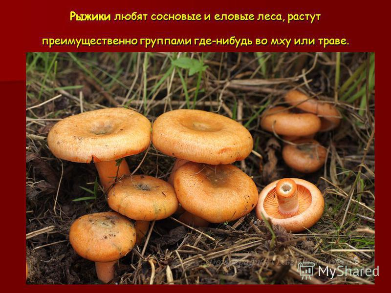 Рыжики любят сосновые и еловые леса, растут преимущественно группами где-нибудь во мху или траве.