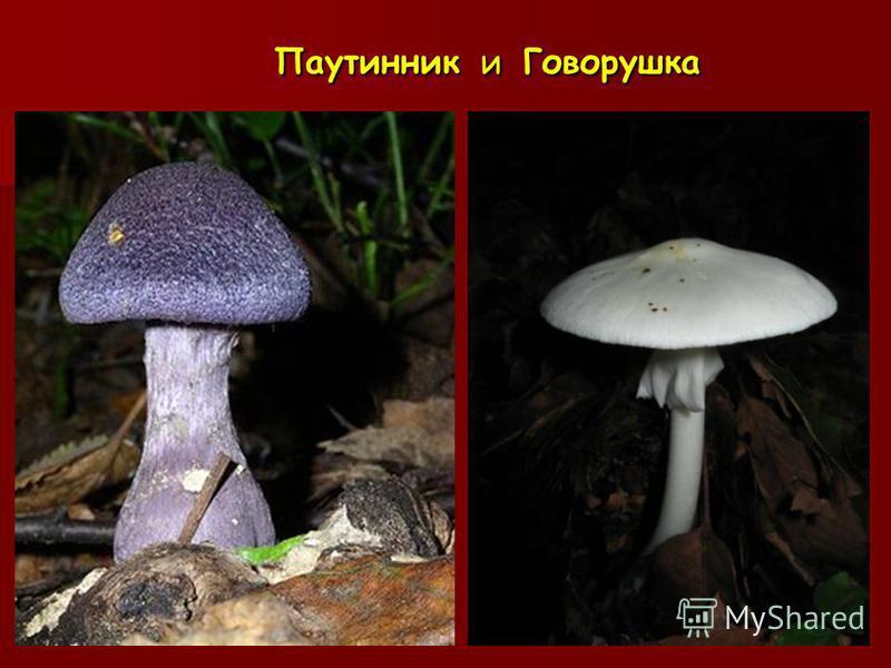 Паутинник и Говорушка Паутинник и Говорушка