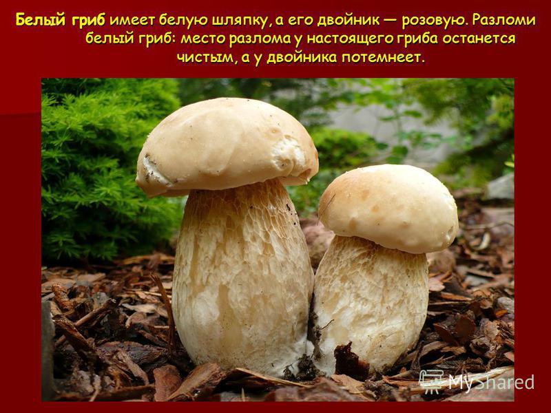 Белый гриб имеет белую шляпку, а его двойник розовую. Разломи белый гриб: место разлома у настоящего гриба останется чистым, а у двойника потемнеет.