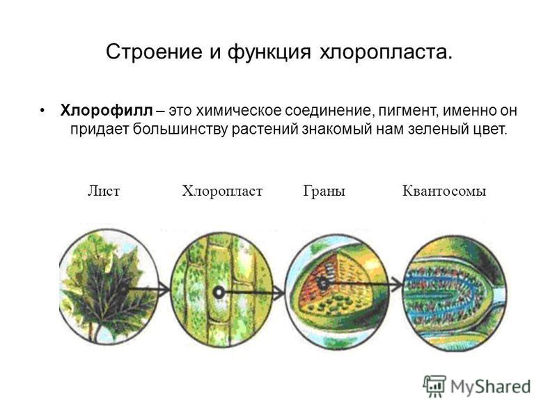 Строение и функция хлоропласта. Хлорофилл – это химическое соединение, пигмент, именно он придает большинству растений знакомый нам зеленый цвет. Лист Хлоропласт Граны Квантосомы
