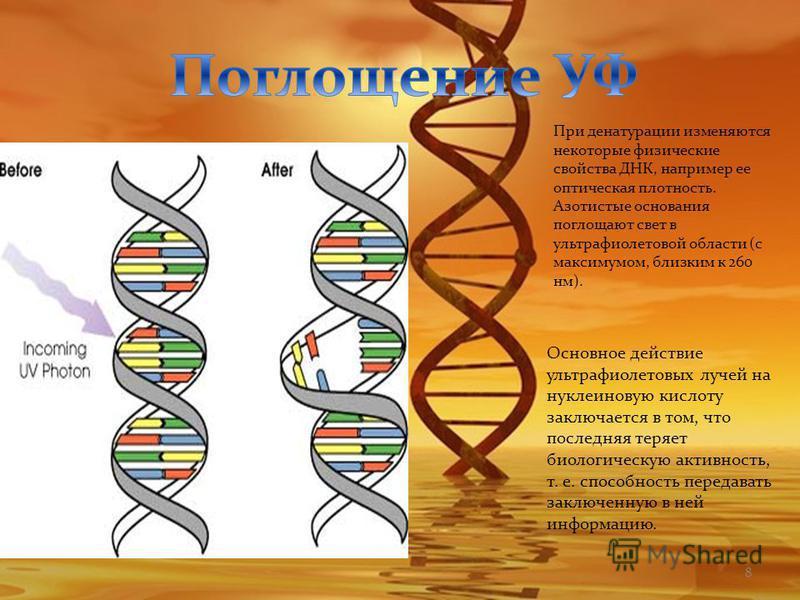 8 При денатурации изменяются некоторые физические свойства ДНК, например ее оптическая плотность. Азотистые основания поглощают свет в ультрафиолетовой области (с максимумом, близким к 260 нм). Основное действие ультрафиолетовых лучей на нуклеиновую