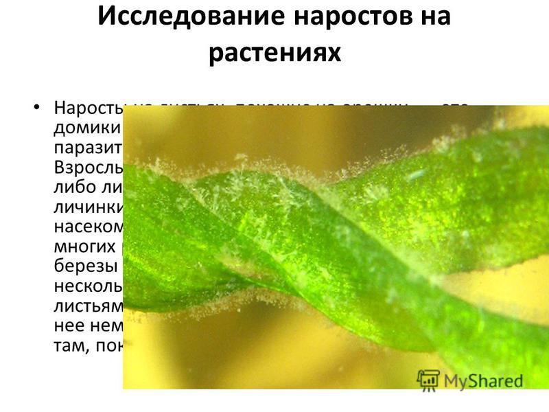 Исследование наростов на растениях Наросты на листьях, похожие на орешки, это домики для разных насекомых, которые паразитируют каждое на «своей» породе дерева. Взрослые насекомые откладывают яйца в почки либо листья, которые еще растут. Из яиц вывод