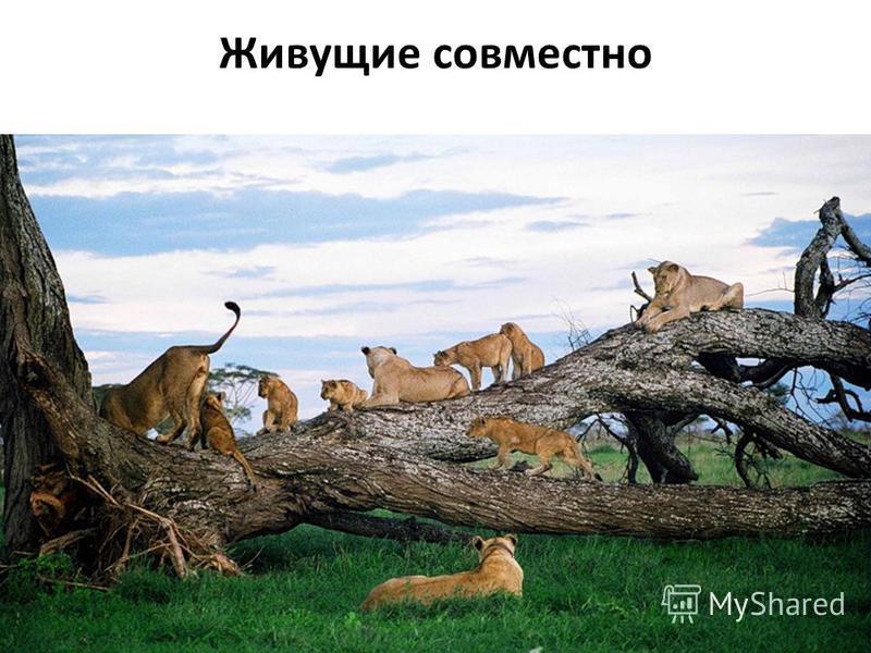 Живущие совместно Многие растения и животные внутри одного вида образуют различные группы. Они отличаются друг от друга и размерами, и степенью взаимосвязей между своими членами. Небольшие группы животных, живущих совместно, называют социальными груп