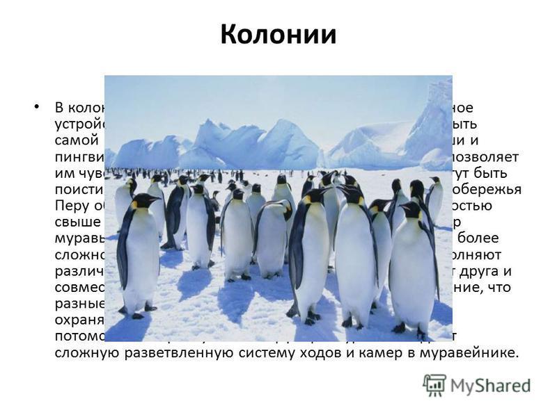 Колонии В колониях у разных животных различно и их социальное устройство. Зависимость особей друг от друга может быть самой разной. Многие морские птицы, например олуши и пингвины, просто скапливаются в огромные стаи. Это позволяет им чувствовать себ