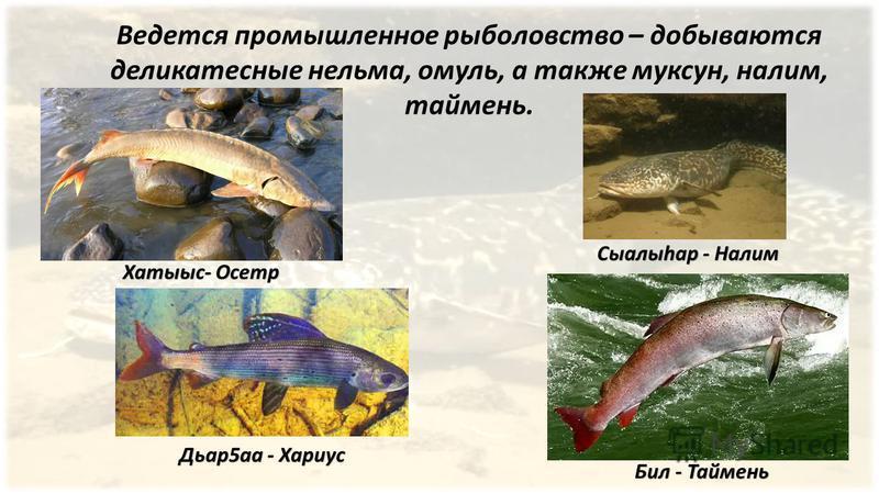 Ведется промышленное рыболовство – добываются деликатесные нельма, омуль, а также муксун, налим, таймень. Хатыыс- Осетр Бил - Таймень Сыалыhар - Налим Дьар 5 а - Хариус