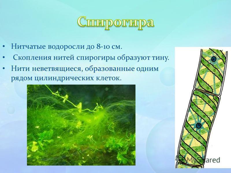 Нитчатые водоросли до 8-10 см. Скопления нитей спирогиры образуют тину. Нити неветвящиеся, образованные одним рядом цилиндрических клеток.
