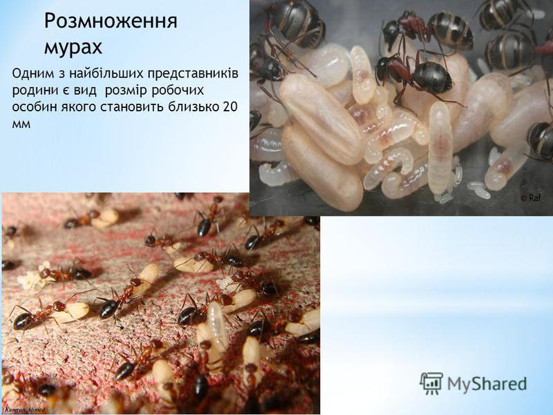 Розмноження мурах Одним з найбільших представників родини є вид розмір робочих особин якого становить близько 20 мм