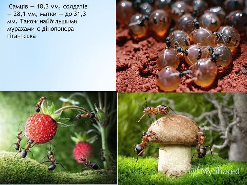 Самців 18,3 мм, солдатів 28,1 мм, матки до 31,3 мм. Також найбільшими мурахами є дінопонера гігантська