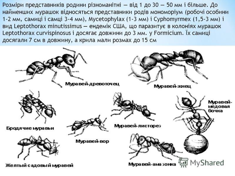 Розміри представників родини різноманітні від 1 до 30 50 мм і більше. До найменших мурашок відносяться представники родів мономоріум (робочі особини 1-2 мм, самиці і самці 3-4 мм), Mycetophylax (1-3 мм) і Cyphomyrmex (1,5-3 мм) і вид Leptothorax minu