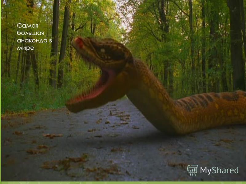 Самая большая анаконда в мире