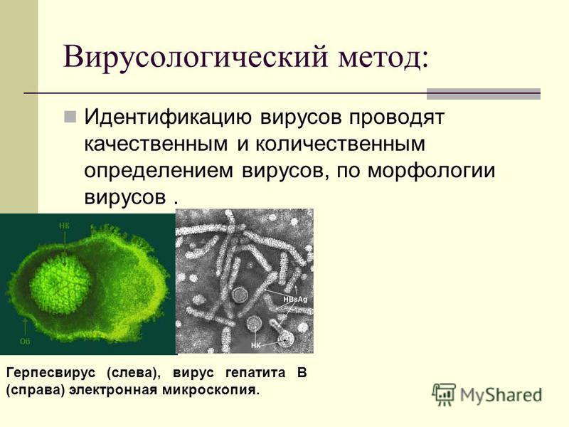 Вирусологический метод: Идентификацию вирусов проводят качественным и количественным определением вирусов, по морфологии вирусов. Герпесвирус (слева), вирус гепатита В (справа) электронная микроскопия.