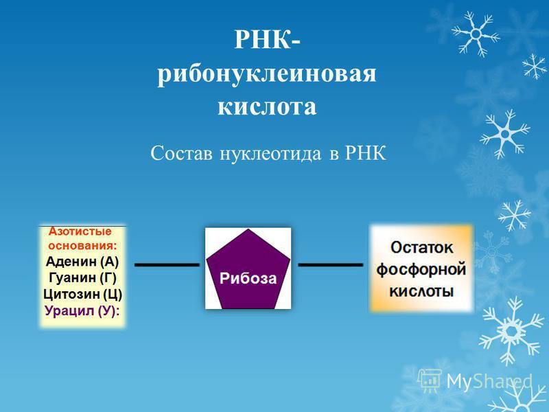 РНК- рибонуклеиновая кислота Состав нуклеотида в РНК