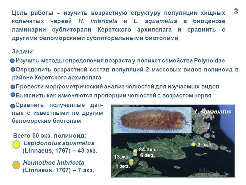 Всего 50 экз. полиноид: Lepidonotus squamatus (Linnaeus, 1767) – 43 экз. Harmothoe Imbricata (Linnaeus, 1767) – 7 экз. 34 экз. 6 экз. 3 экз. 13 экз. 1 экз. Цель работы – изучить возрастную структуру популяции хищных кольчатых червей H. imbricata и L.