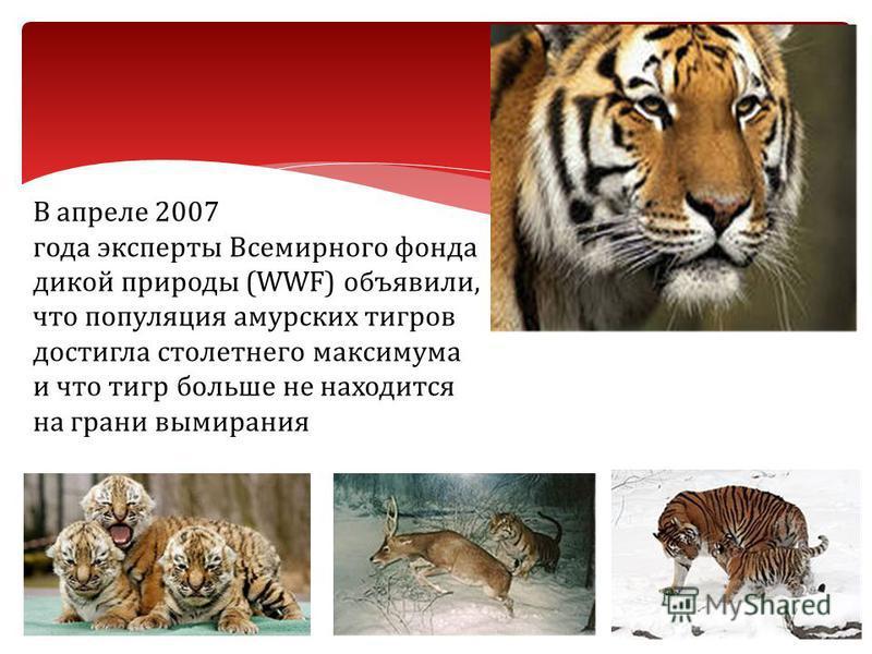 В апреле 2007 года эксперты Всемирного фонда дикой природы (WWF) объявили, что популяция амурских тигров достигла столетнего максимума и что тигр больше не находится на грани вымирания