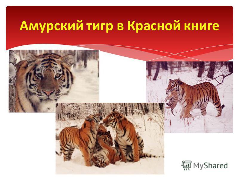 Амурский тигр в Красной книге