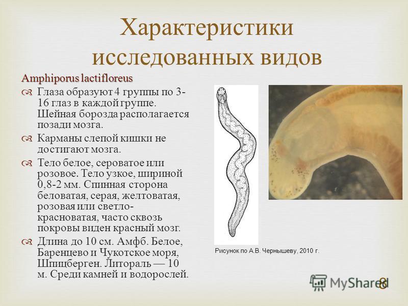 8 Amphiporus lactifloreus Глаза образуют 4 группы по 3- 16 глаз в каждой группе. Шейная борозда располагается позади мозга. Карманы слепой кишки не достигают мозга. Тело белое, сероватое или розовое. Тело узкое, шириной 0,8-2 мм. Спинная сторона бело