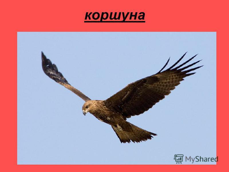 коршуна