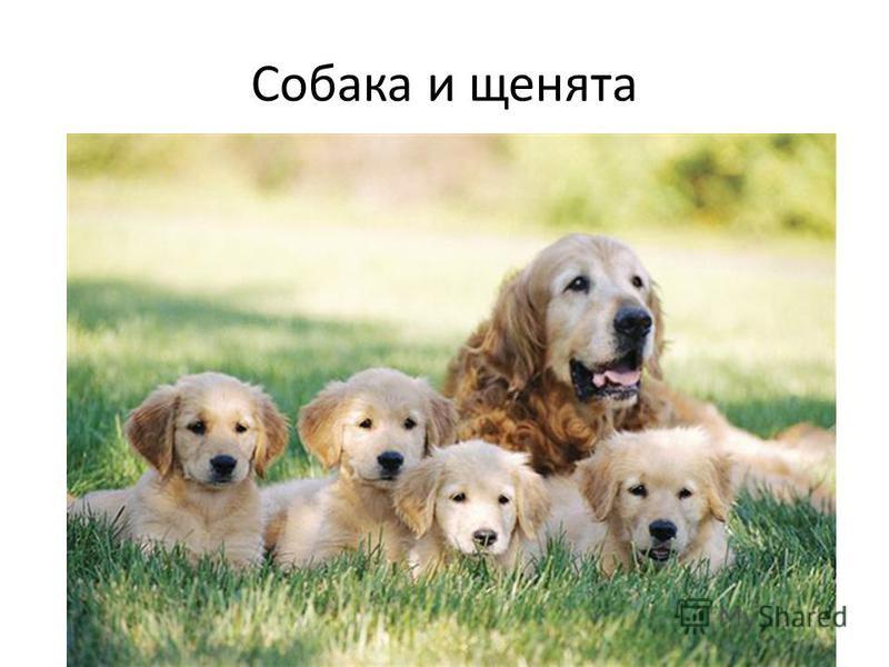 Собака и щенята