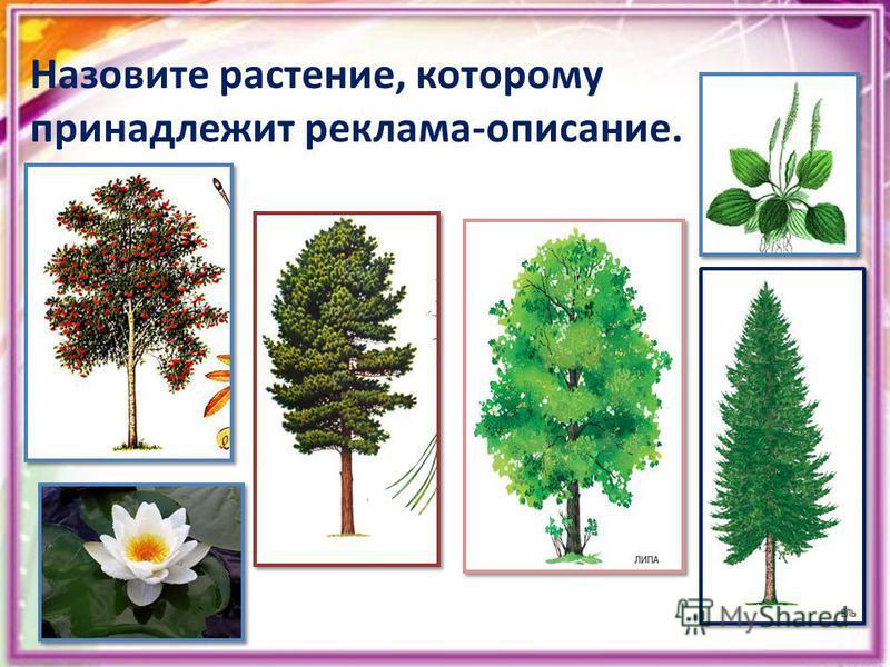 Назовите растение, которому принадлежит реклама-описание.