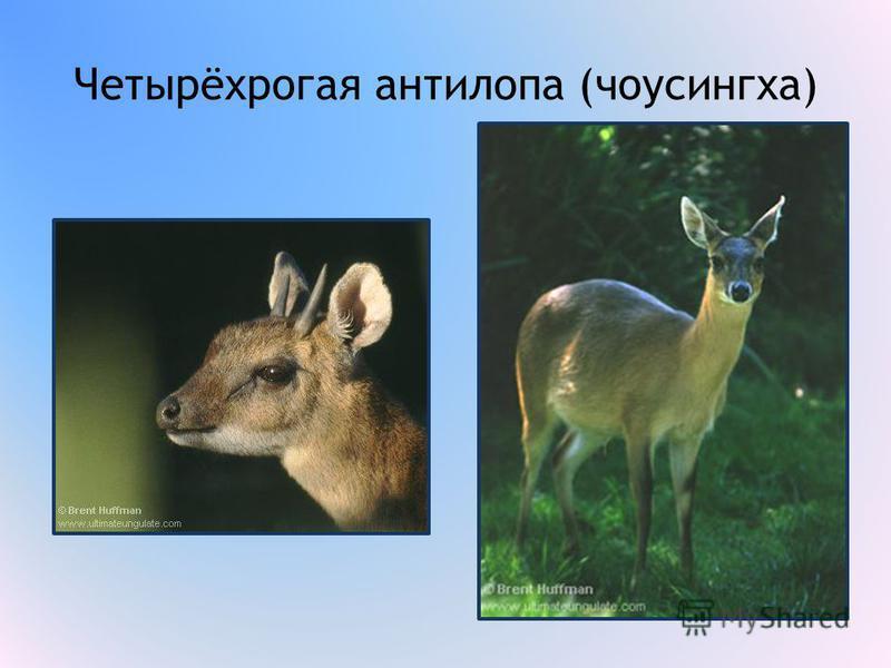 Четырёхрогая антилопа (чоусингха)