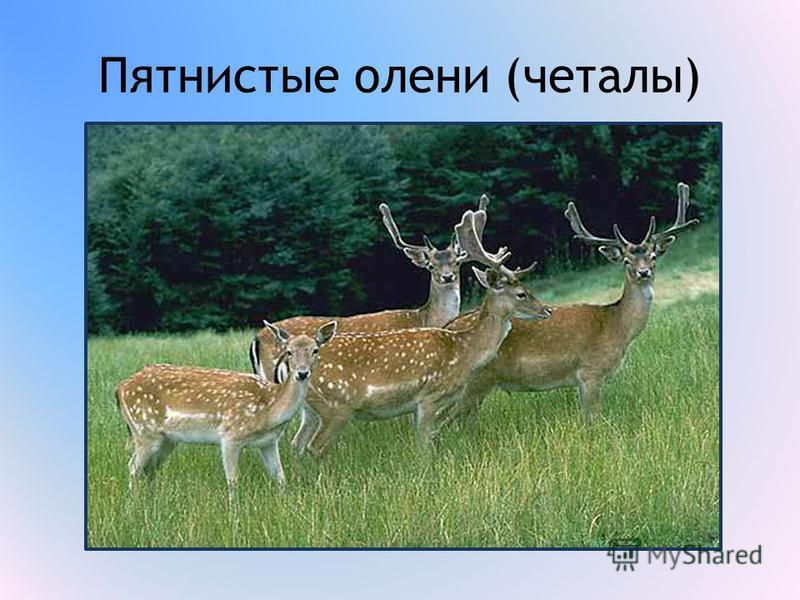 Пятнистые олени (читалы)