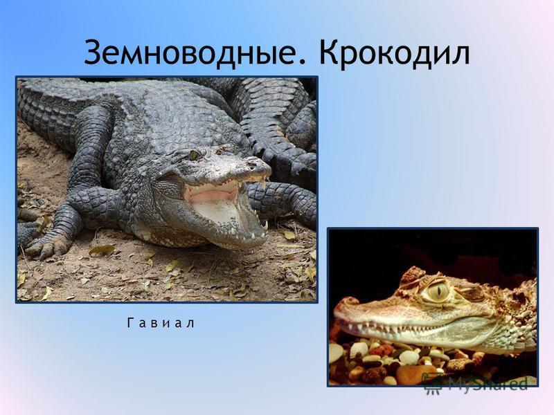 Земноводные. Крокодил Гавиал