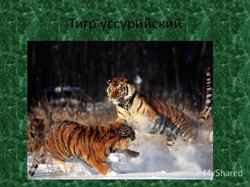 Тигр уссурийский